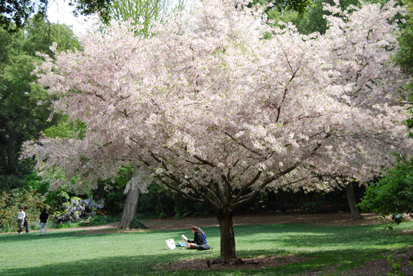 Descanso Gardens To Welcome Japanese Themed Cherry Blossom