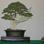 California Bonsai Society David Nguy