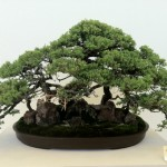 JACCC Nsei Week Bonsai