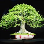 Kofu Kai Bonsai Bowers Museum