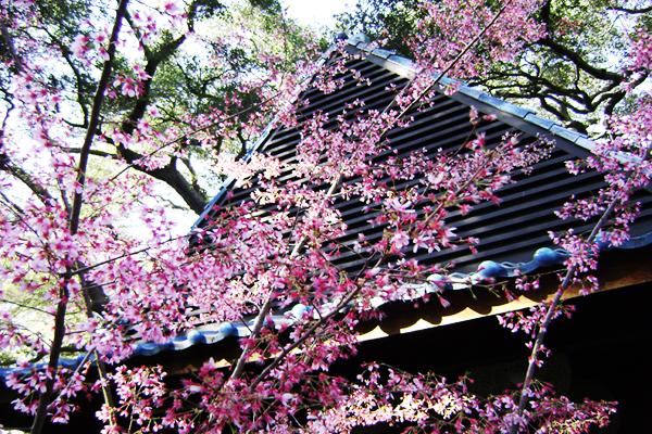 Descanso Gardens Cherry Blossom Festival 2016