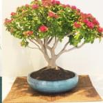 bonsai-exhibit-pc-1