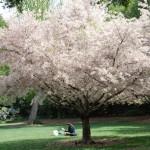 Descanso Gardens Cherry Blossom Beni Hoshi