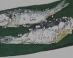 Nibei 2011 July Sushi Issai hannare sushi