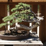 Clark Bonsai Prostrata Juniper