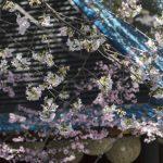Descanso Gardens Cherry Blossom Festival